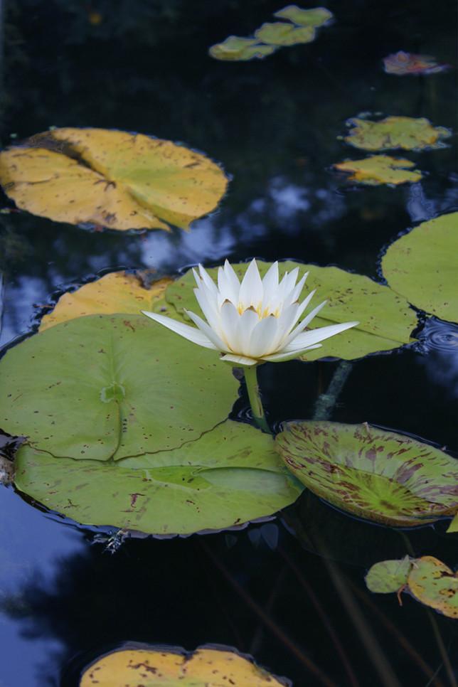 草津 水性植物園 睡蓮